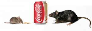 ההבדלים בין עכבר לחולדה